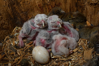 Boreal Owl (Aegolius funereus) owlets and egg in nest cavity with a cache of dead Northern Red-backed Vole (Clethrionomys rutilus), Alaska