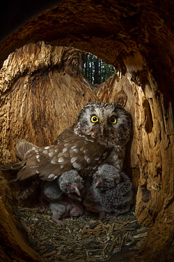 Boreal Owl (Aegolius funereus) mother and owlets in nest cavity, Alaska
