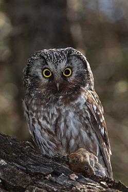 Boreal Owl (Aegolius funereus), Alaska