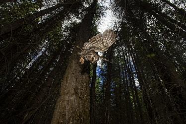 Boreal Owl (Aegolius funereus) hunting, Alaska