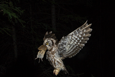Boreal Owl (Aegolius funereus) male flying with Northern Red-backed Vole (Clethrionomys rutilus) prey, Alaska