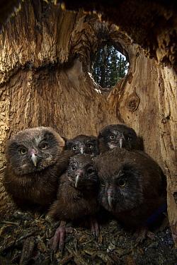 Boreal Owl (Aegolius funereus) owlets in nest cavity, Alaska
