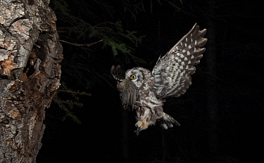 Boreal Owl (Aegolius funereus) male landing at nest cavity with White-crowned Sparrow (Zonotrichia leucophrys) prey for young, Alaska