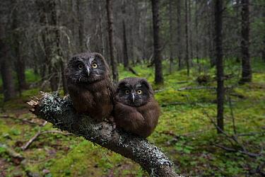 Boreal Owl (Aegolius funereus) fledglings in coniferous forest, Alaska