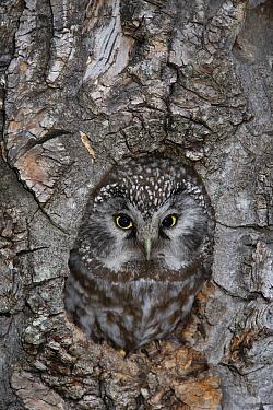 Boreal Owl (Aegolius funereus) camouflaged in nest cavity, Alaska