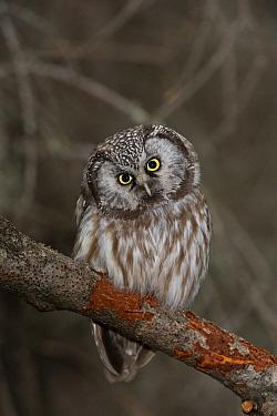 Boreal Owl (Aegolius funereus) male, Alaska