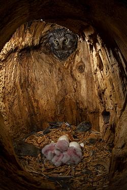 Boreal Owl (Aegolius funereus) mother checking on owlets in nest cavity, Alaska