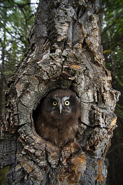 Boreal Owl (Aegolius funereus) flegling at nest cavity, Alaska