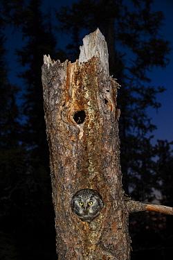 Boreal Owl (Aegolius funereus) in nest cavity, Alaska