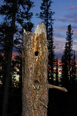 Boreal Owl (Aegolius funereus) male calling at nest cavity, Alaska