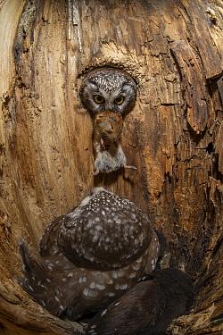 Boreal Owl (Aegolius funereus) male bringing Northern Red-backed Vole (Clethrionomys rutilus) prey to incubating female, Alaska