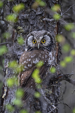 Boreal Owl (Aegolius funereus) wet after bathing, Alaska