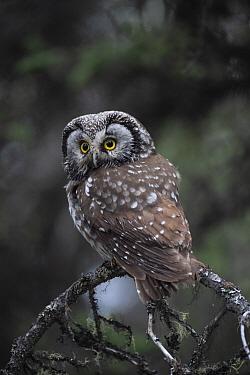 Boreal Owl (Aegolius funereus) in Black Spruce (Picea mariana) forest, Alaska