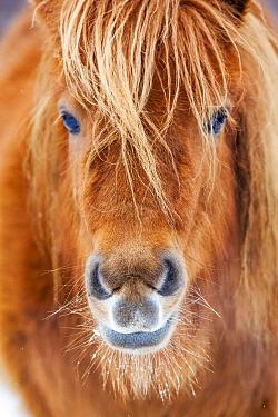 Shetland Pony (Equus caballus), Netherlands