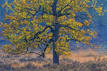 Oak (Quercus sp) tree in autumn, Hatertse Vennen, Netherlands