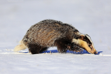 Eurasian Badger (Meles meles) in winter, Bohemian-Moravian Highlands, Czech Republic