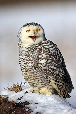Snowy Owl (Nyctea scandiaca) calling in winter, Bohemian-Moravian Highlands, Czech Republic