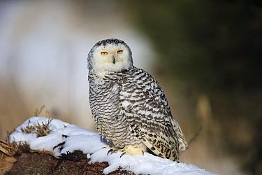 Snowy Owl (Nyctea scandiaca) in winter, Bohemian-Moravian Highlands, Czech Republic