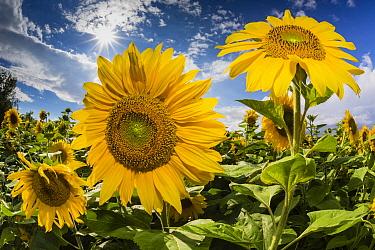 Common Sunflower (Helianthus annuus) field, Hessen, Germany