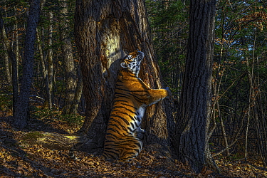 Siberian Tiger (Panthera tigris altaica) scent-marking tree, photo is titled The Embrace, and won the 2020 wildlife photographer of the year competition, Russia