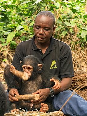 Chimpanzee (Pan troglodytes) orphan playing with caretaker, Mefou Primate Sanctuary, Cameroon