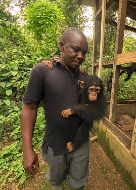 Chimpanzee (Pan troglodytes) orphan being carried by caretaker, Mefou Primate Sanctuary, Cameroon