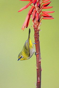 Cape White-eye (Zosterops capensis), Herolds Bay, Western Cape, South Africa