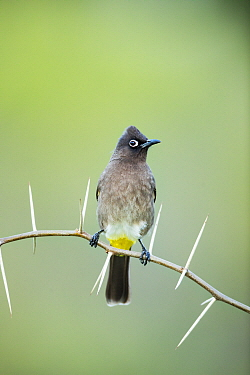 Cape Bulbul (Pycnonotus capensis), Herolds Bay, Western Cape, South Africa
