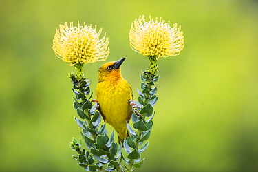 Cape Weaver (Ploceus capensis) on Pincushion (Leucospermum sp) flower, Herolds Bay, Western Cape, South Africa