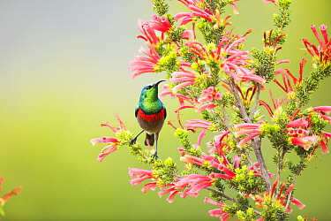 Southern Double-collared Sunbird (Cinnyris chalybeus) male on Two-color Heath (Erica discolor), Herolds Bay, Western Cape, South Africa