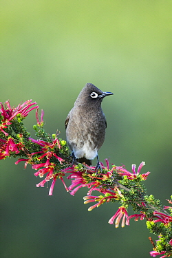 Cape Bulbul (Pycnonotus capensis) on Two-color Heath (Erica discolor), Herolds Bay, Western Cape, South Africa