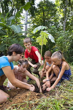 Cecropia (Cecropia sp) seedling planted by sloth conservationist, Katra Laidlaw, with local school children to restore habitat, Sloth Conservation Foundation, Puerto Viejo de Talamanca, Costa Rica