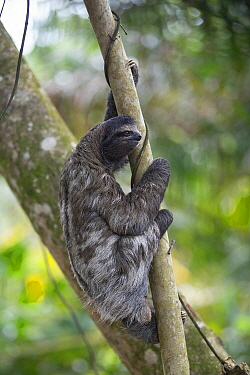 Brown-throated Three-toed Sloth (Bradypus variegatus) female, Puerto Viejo de Talamanca, Costa Rica