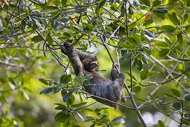 Brown-throated Three-toed Sloth (Bradypus variegatus) male, Puerto Viejo de Talamanca, Costa Rica