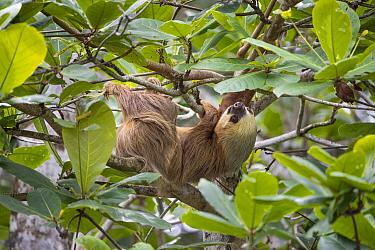 Hoffmann's Two-toed Sloth (Choloepus hoffmanni) female, Puerto Viejo de Talamanca, Costa Rica
