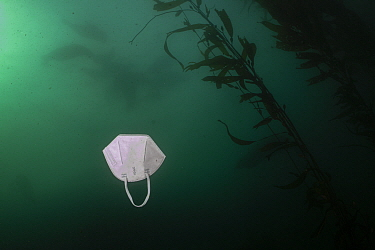 Drifting discarded N-95 mask in kelp forest, Monterey Bay, California