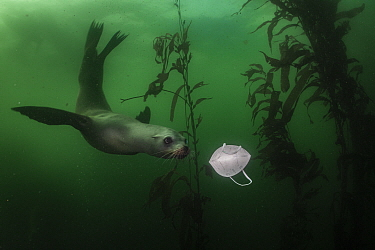California Sea Lion (Zalophus californianus) playing with discarded N-95 mask in kelp forest, Monterey Bay, California