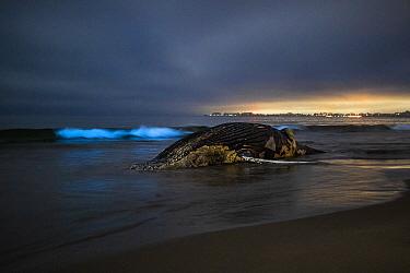 Humpback Whale (Megaptera novaeangliae) carcass at night during bioluminescent red tide, Rio Del Mar State Beach, Aptos, California