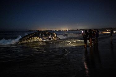 Humpback Whale (Megaptera novaeangliae) carcass on beach viewed by tourists at night, Rio Del Mar State Beach, Aptos, California