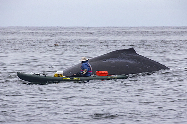 Humpback Whale (Megaptera novaeangliae) surfacing with kayaker, Monterey Bay, California