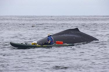 Humpback Whale (Megaptera novaeangliae) surfacing with kayaker, Monterey Bay, California