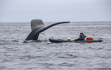 Humpback Whale (Megaptera novaeangliae) diving next to kayaker, Monterey Bay, California