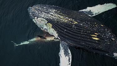 Great White Shark (Carcharodon carcharias) feeding on Humpback Whale (Megaptera novaeangliae) carcass, Monterey Bay, California