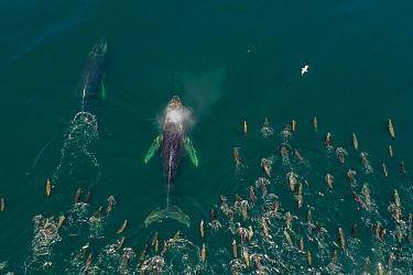 California Sea Lion (Zalophus californianus) group and Humpback Whales (Megaptera novaeangliae), Monterey Bay, California
