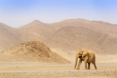 African Elephant (Loxodonta africana), desert-adapted walking in desert valley, Kaokoland, Namibia