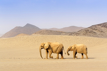 African Elephant (Loxodonta africana), desert-adapated pair walking, Kaokoland, Namibia