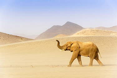 African Elephant (Loxodonta africana), desert-adapted, scenting for water in the desert, Kaokoland, Namibia