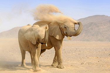 African Elephant (Loxodonta africana) desert adapated pair throwing sand in desert, Kaokoland, Namibia