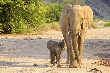 African Elephant (Loxodonta africana)desert-adapted mother and calf walking in dried riverbed, Kaokoland, Namibia