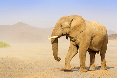 African Elephant (Loxodonta africana) desert-adapated bull in windswept desert valley, Kaokoland, Namibia